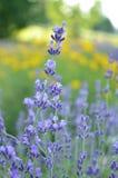 紫色淡紫色花在庭院里 免版税图库摄影