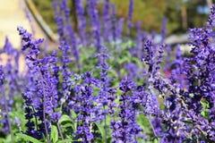 紫色淡紫色 免版税库存图片