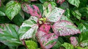 绿色混杂的红色叶子在庭院里 免版税库存照片