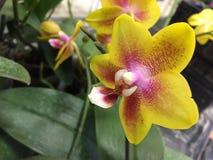黄色混杂的紫色兰花 免版税库存图片