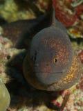 黄色渐近的海鳗 库存图片