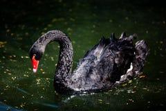 黑色游泳 免版税库存图片