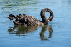 黑色湖天鹅游泳 库存图片
