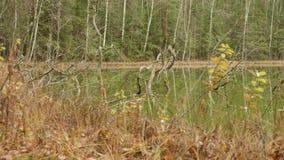 绿色湖自森林秋天白天 光滑的移动式摄影车射击 股票录像