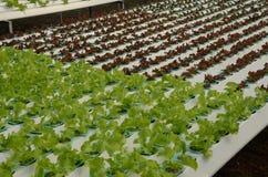 绿色漂白亚麻纤维莴苣和的山莴苣属 库存照片