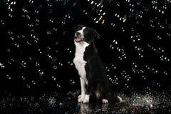 水色演播室,在黑暗的背景的博德牧羊犬与泡影 库存图片