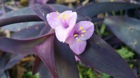 紫色漫步的犹太人 免版税库存图片