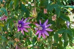 紫色激情花或西番莲 库存图片
