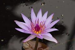 紫色激情荷花 免版税图库摄影