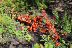 绿色灌木在春天开了花与橙色花 免版税库存照片