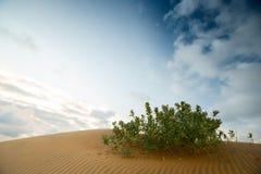 绿色灌木在沙漠 免版税库存照片