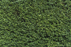 绿色灌木墙壁 库存照片