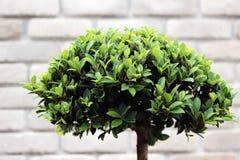 绿色灌木盆景 免版税库存照片
