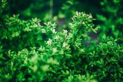 绿色灌木背景关闭 图库摄影