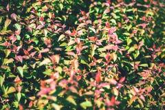 绿色灌木背景关闭 库存图片