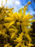 黄色灌木花 库存照片