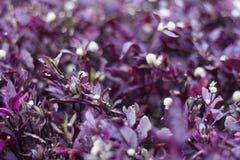 紫色灌木 免版税库存图片