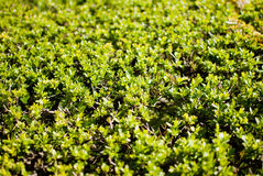 绿色灌木 库存照片