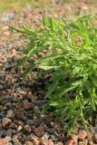 绿色灌木rucola 免版税库存照片