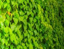 绿色热带叶子背景 库存图片