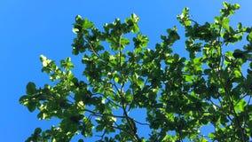 绿色热带树离开反对蓝天 慢动作的HD 花房子湖普吉岛泰国 股票录像