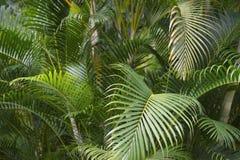 绿色热带棕榈叶状体密林 免版税库存照片