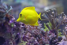 黄色热带鱼游泳在温暖的海 免版税库存图片