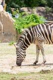 黑色照片空白斑马动物园 图库摄影