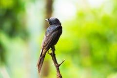 黑色燕卷尾 库存图片