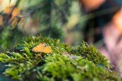 黄色燕子和绿色青苔在一个模糊的图象 库存图片