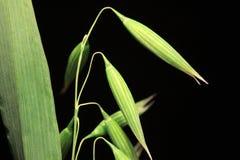 绿色燕麦钉的细节在黑背景的 库存照片