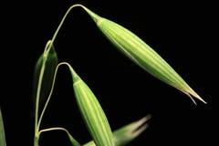 绿色燕麦钉的细节在黑背景的 免版税库存照片
