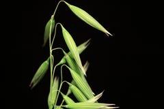 绿色燕麦钉的细节在黑背景的 免版税图库摄影