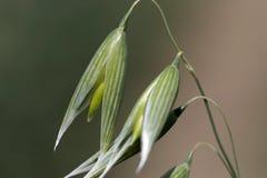 绿色燕麦钉的细节 免版税库存图片