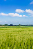 绿色燕麦 库存图片