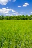 绿色燕麦 免版税库存图片