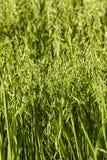 绿色燕麦 免版税图库摄影
