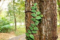 绿色爬行物植物 库存图片