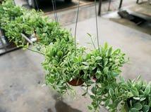 绿色爬行物植物(Dischidia nummularia Variegata) 免版税库存照片