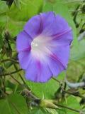 紫色爬行物绽放 免版税库存图片