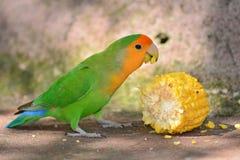 绿色爱情鸟 图库摄影
