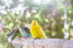 黄色爱情鸟 库存图片