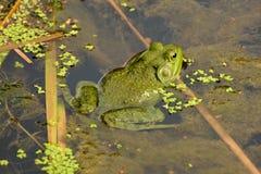 绿色牛蛙 免版税图库摄影