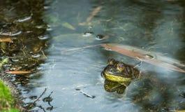 绿色牛蛙 库存照片