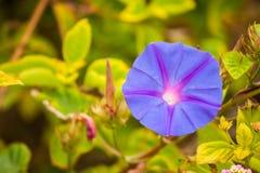 紫色牵牛花 免版税库存照片