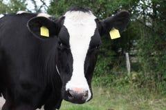 黑色特写镜头母牛白色 免版税库存图片