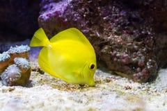 黄色特性在水中 库存照片