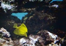 黄色特性热带鱼 免版税库存图片