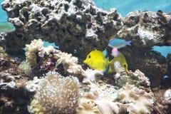 黄色特性热带鱼 免版税图库摄影