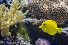 黄色特性热带鱼 免版税库存照片